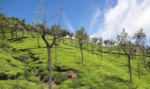 Tea-Gardens-in-Ooty
