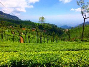 Tea-gardens-2-Ooty-1024x768